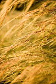 CLOSE UP OF STIPA TENUISSIMA. GRASS. TEXTURE