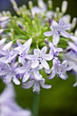 PINE COTTAGE PLANTS  DEVON: AGAPANTHUS LILAC TIME