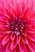 CLOSE UP OF DAHLIA DAZZLER. PINK  FLOWER  CLOSE UP  PATTERN  ABSTRACT