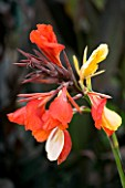 OAKLAND NURSERIES  LEICESTERSHIRE: CANNA CLEOPATRA FROM THAILAND