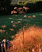 CLARE MATTHEWS GARDEN  DEVON: DAWN LIGHT ON ANGELICA VICARS MEAD AND STIPA ARUNDINACEA IN THE GRAVEL GARDEN