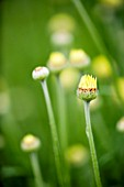 EMERGING BUD OF ANTHEMIS SAUCE HOLLANDAISE