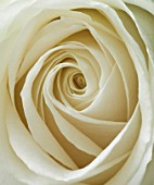 WHITE ROSE  CLOSE UP. PATTERN  FRESH  NATURAL  NATURE  SYMMETRY  SYMETRICAL  PURE  ROMANCE  CLEAN  PURITY