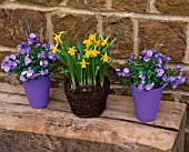 BASKET CONTAINER PLANTED WITH NARCISSUS TETE-A-TETE WITH CAMPANULA BALI IN BLUE PAINTED TERRACOTTA CONTAINERS. SPRING
