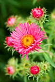 ASTER ALMA POTSCHKE. FLOWER  AUTUMN  SEPTEMBER  PINK