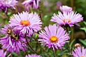 ASTER NOVAE ANGLIAE MRS ST WRIGHT. FLOWER  CLOSE UP  PINK  SEPTEMBER