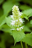 AGASTACHE URTICIFOLIA ALBA. FLOWER  CLOSE UP  WHITE