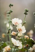 ALCEA X ALTHAEA PARKALLEE (HOLLYHOCK). MARCHANTS HARDY PLANTS  SUSSEX