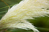 FLOWER OF CORTADERIA SELLOANA PUMILA. MARCHANTS HARDY PLANTS  SUSSEX