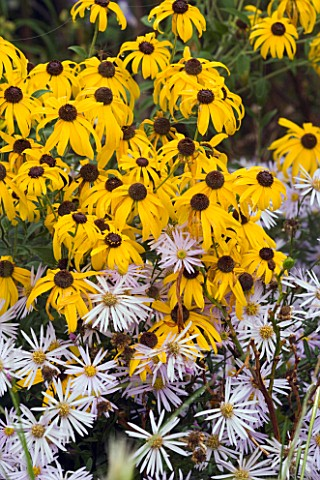 RUDBECKIA_SUBTOMENTOSA_AND_ASTER_PYRENAUS_LUTETIA_MARCHANTS_HARDY_PLANTS__SUSSEX