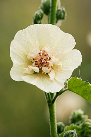 ALCEA_X_ALTHAEA_PARKALLEE_HOLLYHOCK_MARCHANTS_HARDY_PLANTS__SUSSEX