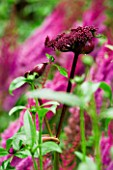 MAYROYD MILL HOUSE  YORKSHIRE. ASTILBE CHINENSIS TAQUETI PURPURLANZE AND ANGELICA GIGAS