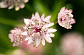 CLOSE OF PALE PINK ASTRANTIA FLOWERS (UNKNOWN VARIETY)