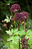 ANGELICA GIGAS  MAYROYD MILL GARDEN  YORKSHIRE: FLOWER  CLOSE UP  PINK