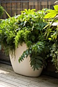 URBAN ROOF:CONTAINER BY URBIS PLANTED BY FERESCA LIMITED -  FATSIA JAPONICA SKIMMIA KEW GREEN  MELIANTHUS MAJOR  HEDERA HELIX  ASPARAGUS DENSIFLORUS