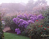 MISTY AUTUMN MORNING AT MARCHANTS HARDY PLANTS  SUSSEX: THE LOWER PART OF THE GARDEN WITH ASTER LITTLE CARLOW IN FULL FLOWER