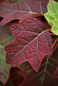 PAN GLOBAL PLANTS  GLOUCESTERSHIRE: LEAF OF HYDRANGEA QUERCIFOLIA ALICE