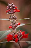 PAN GLOBAL PLANTS  GLOUCESTERSHIRE: FLOWERS OF COLQUHOUNIA COCCINEA