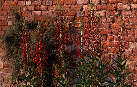 PAN_GLOBAL_PLANTS__GLOUCESTERSHIRE_LOBELIA_TUPA_IN_THE_WALLED_GARDEN