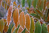 PARSONAGE  WORCESTERSHIRE: CLOSE UP OF FROSTY LEAVES OF CASTANEA SATIVA IN WINTER. SWEET CHESTNUT  SPANISH CHESTNUT  EUROPEAN CHESTNUT