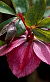 HELLEBORUS X HYBRIDUS (RED FORM) TIED WITH RED WOOL: HERTFORDSHIRE HELLEBORES