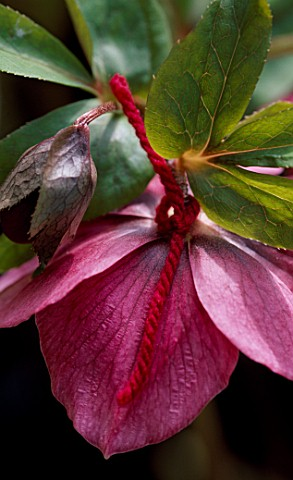 HELLEBORUS_X_HYBRIDUS_RED_FORM_TIED_WITH_RED_WOOL_HERTFORDSHIRE_HELLEBORES