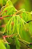 EMERGING LEAVES AND YOUNG SPRING GROWTH OF ACER PALMATUM VAR DISSECTUM VIRIDE GROUP