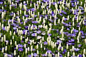 PLANT COMBINATION: ANEMONE BLANDA BLUE SHADES AND MUSCARI BOTRYOIDES ALBUM. KEUKENHOF GARDENS  HOLLAND