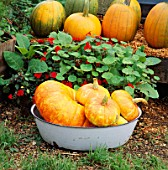 A LARGE FRENCH PUMPKIN AND 3 TURKS TURBAN PUMPKINS IN A BOWL IN B/G ARE AMERICAN PUMPKINS