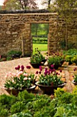 RICKYARD BARN GARDEN  NORTHAMPTONSHIRE: GRAVEL AND HORNTON STONE TERRACE WITH COPPER CONTAINERS PLANTED WITH TULIP APRICOT BEAUTY  TULIP BLACK HERO AND TULIP NEGRITA