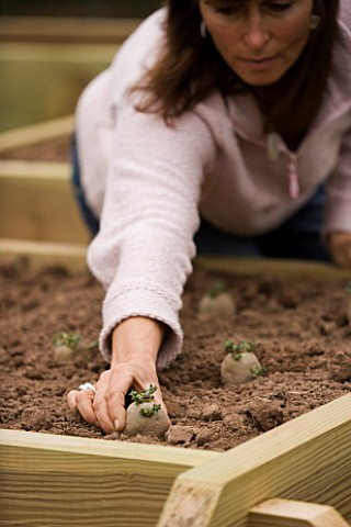 CLARE_MATTHEWS_POTAGER_VEGETABLE_PROJECT_PLANTING_OUT_A_CHITTED_POTATO_INTO_A_RAISED_BED_VARIETY_IS_