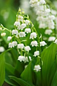 CONVALLARIA MAJALIS BORDEAUX - LILY OF THE VALLEY