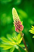 EMERGING BUD OF LUPIN MY CASTLE