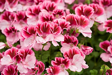 PELARGONIUM_COTTENHAM_TREASURE