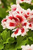 REGAL PELARGONIUM FRINGED AZTEC