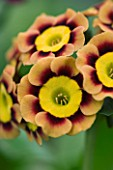 PRIMULA AURICULA ANCIENT SOCIETY