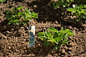 POTAGER PROJECT BY CLARE MATTHEWS: SWIFT POTATOES PLANTED IN RAISED BED. SOIL  FRESH GROWTH