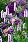 PETTIFERS  OXFORDSHIRE: DAWN LIGHT ON BORDER PLANTED WITH ALLIUM CHRISTOPHII AND PERSICARIA AFFINIS SUPERBUM