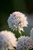 PETTIFERS  OXFORDSHIRE: WHITE CHIVE (ALLIUM) FROM GRAHAM GOUGH AT MARCHANTS HARDY PLANTS