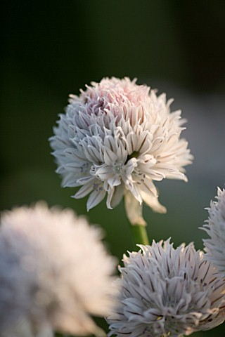 PETTIFERS__OXFORDSHIRE_WHITE_CHIVE_ALLIUM_FROM_GRAHAM_GOUGH_AT_MARCHANTS_HARDY_PLANTS