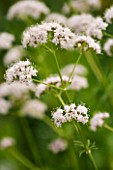 VALERIANA OFFICINALIS SAMNULIFOLIA