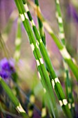 MINIMALIST GARDEN BY WYNNIATT-HUSEY CLARKE: CLOSE UP OF MISCANTHUS ZEBRINUS (ZEBRA GRASS)