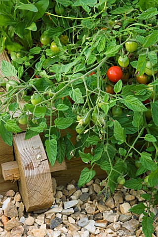 DESIGNER_CLARE_MATTHEWS__POTAGER_VEGETABLE_GARDEN_PROJECT__DEVON_TOMATO_TUMBLING_TOM_IN_A_WOODEN_RAI