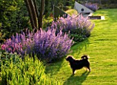 RICHARD JACKSONS GARDEN: DOG BESIDE LAWN AND BORDER PLANTED WITH NEPETA WALKERS LOW  PERSICARIA  STACHYS BIG EARS. WATER RILL AND METAL SAILS. DESIGNER: CLARE MATTHEWS