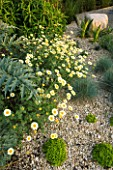 RICHARD JACKSONS GARDEN. DESIGNED BY CLARE MATTHEWS - GRAVEL BORDER WITH CARDOONS AND ANTHEMIS SAUCE HOLLANDAISE