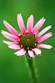 HALL FARM NURSERY  SHROPSHIRE - ECHINACEA TENNESSEENSIS ROCKY TOP