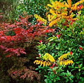 THE RED LEAVES OF ACER PALMATUM WITH PHOTINIA GLABRA AND RHUS GLABRA LACINATA. TRELEAN GARDEN  CORNWALL