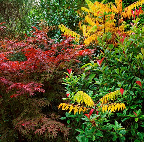 THE_RED_LEAVES_OF_ACER_PALMATUM_WITH_PHOTINIA_GLABRA_AND_RHUS_GLABRA_LACINATA_TRELEAN_GARDEN__CORNWA