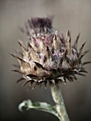 RICKYARD BARN  NORTHAMPTONSHIRE: CARDOON FLOWER - CYNARA CARDUNCULUS IN AUTUMN IN THE GRAVEL GARDEN