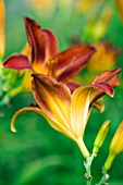 THE NURSERY FARTHER AFIELD  NORTHAMPTONSHIRE: HEMEROCALLIS MISSENDEN